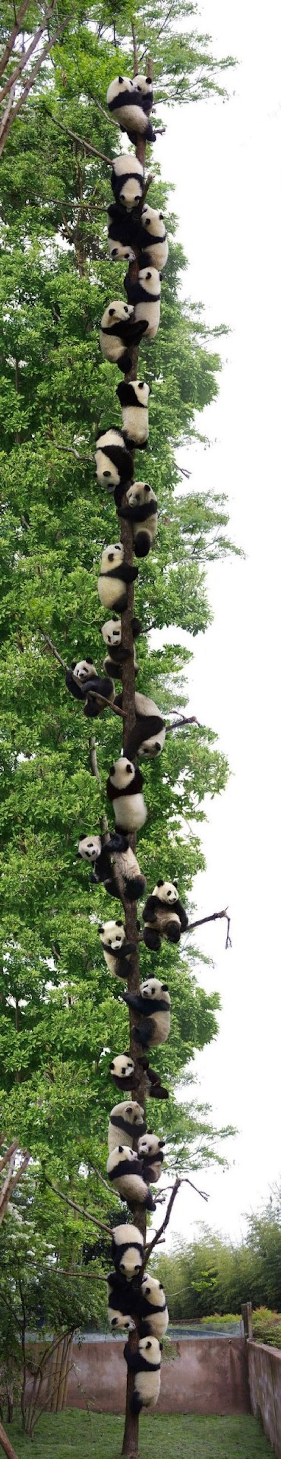 neverending pandas in a tree, best funny pictures, funny pics, funny photos, funny pictures, funny vids, the best funny pictures, really funny photos, funny photos of animals, funny photos 2016, funny photos 2017, funny photos 2018, funny photos 2019, funny pics 2016, funny pics 2017, funny pics 2018, funny pics 2019, funny pictures 2016, funny pictures 2017, funny pictures 2018, funny pictures 2019, funniest pics 2016, funniest pics 2017, funniest pics 2018, funniest pics 2019, funniest pictures 2016, funniest pictures 2017, funniest pictures 2018, funniest pictures 2019, funniest photos 2016, funniest photos 2017, funniest photos 2018, funniest photos 2019, where to find funny pictures, funny pictures which made everyone laugh, where funny pictures, where to download funny pictures, where to find funny pictures with captions, where to get funny pictures for instagram, where to find funny pictures to share, where to find funny pictures to share on facebook, where to see funny pictures, funny pictures for instagram, funny pictures for facebook, funny pictures for memes, funny pictures for wallpaper, funny pictures for him, funny pictures for her, funny pictures for friends, funny pictures for snapchat, funny pictures like uberhumor, funny pictures like 9gag, funny pictures like facebook, funny pictures like, funny pictures like ifunny, funny stuff like pictures, funny pictures to text, funny pictures to photoshop, funny pictures to send, funny pictures to caption, funny pictures to post, funny pictures to make someone feel better, funny pictures to put on facebook, funny pictures to make you laugh, funny pictures to make you smile, funny pictures to brighten your day, funny pictures to brighten someone's day, funny pictures with words, funny pictures with no words, funny pictures without captions, funny pictures with jokes, funny pictures with dogs, funny pictures with cats, funny pictures without words, funny pictures without text, where can I find funny photos, best photos ever, best photo ever, silly photos, silly pictures, silly pics,