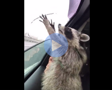 raccoon tries to catch raindrops, raccoon trying to catch raindrops, cute videos, cutest video, cutest videos ever, cutest videos 2017, cutest videos 2016, cutest videos 2018, cutest videos 2019, cutest videos 2020, funny raccoon, raccoon funny, cats funny, funny cats, funny video, funny videos, funny vid, funny vids, funniest video ever, animal video, animal videos, funny animal, funny animals
