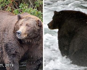 fattest bear, fat bear week, fattest bear contest, fattest bear competition