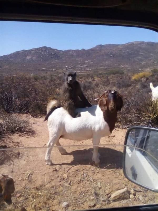 primate sitting on goat funny picture