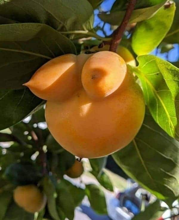 fruit that looks like breasts funny picture