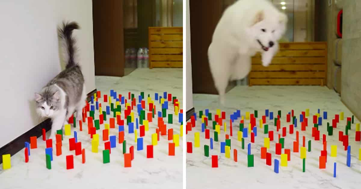 It S Cats Vs Dogs In This Viral Obstacle Course Challenge