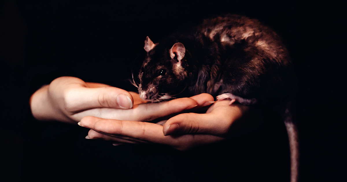 rat in hands, person holding rat, nice picture of person holding rat