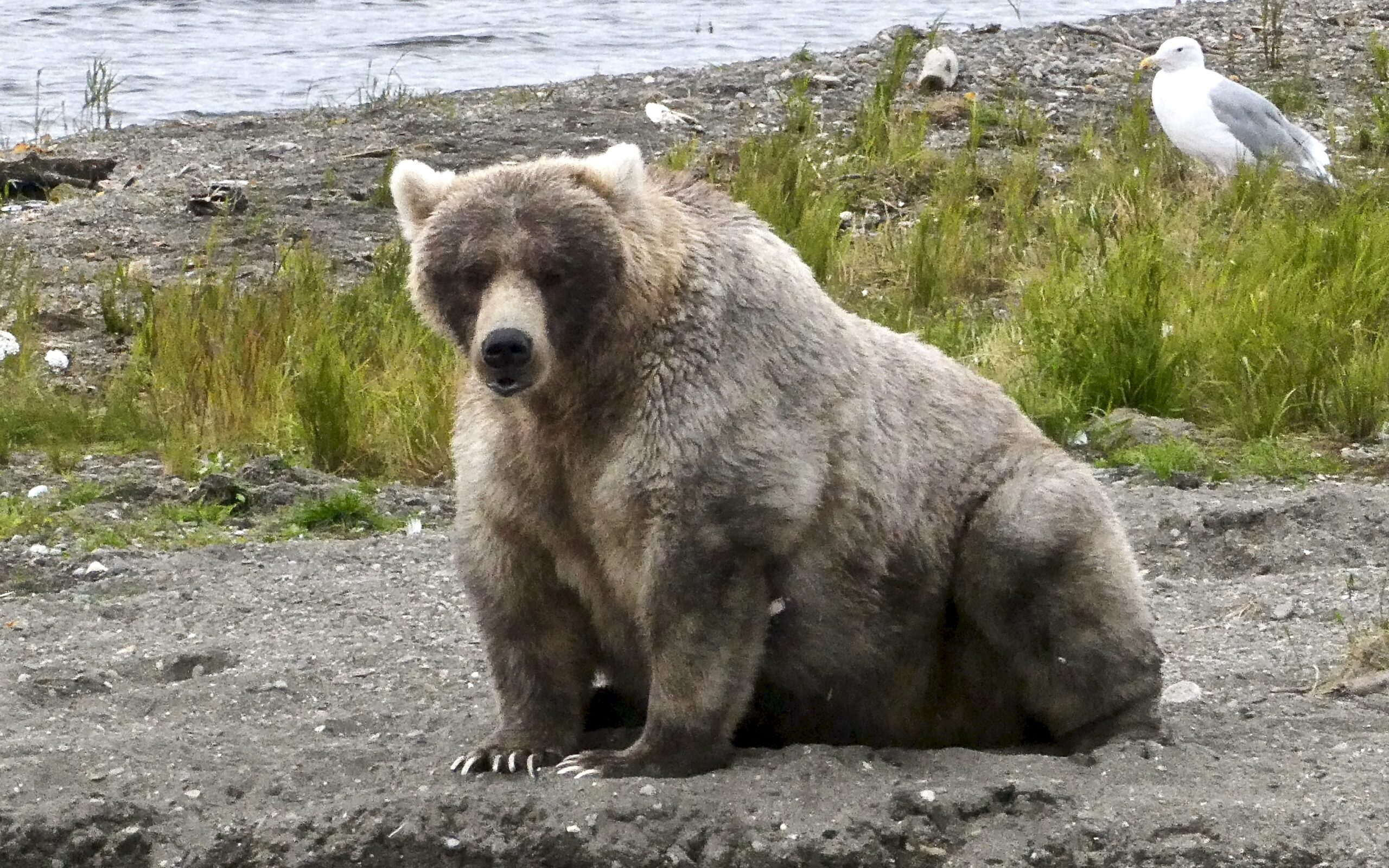 image of a fat bear