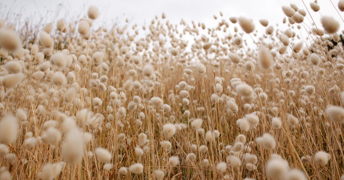 cotton-field-.jpg